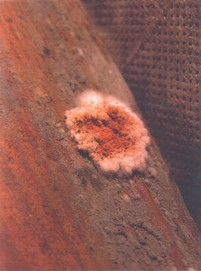 Trichoderma sp.